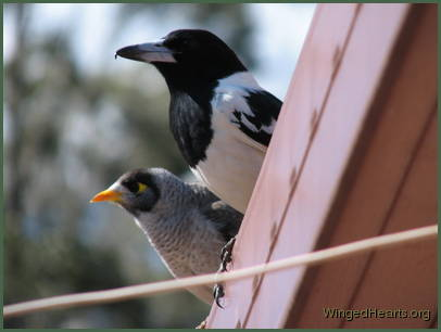 Dimpy-pied butcherbird and Renuthri - noisy-miner basking on the roof