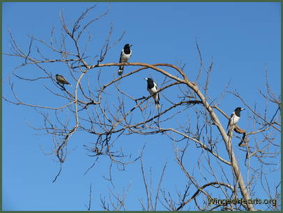 butcherbirds in conference