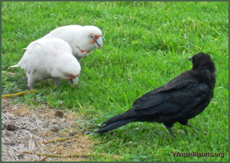 crow and corella
