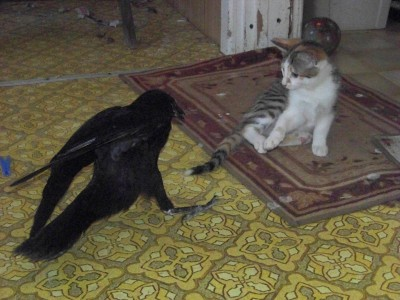 crow and cat