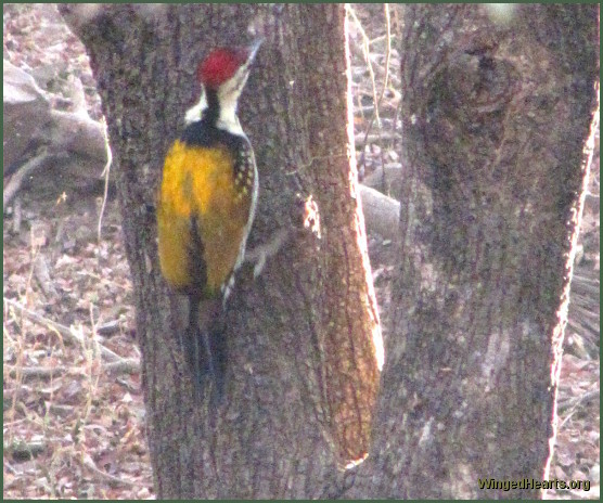woodpecker at Ranthambore