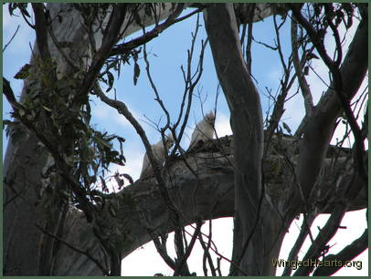 Corella pair sitting on the branch